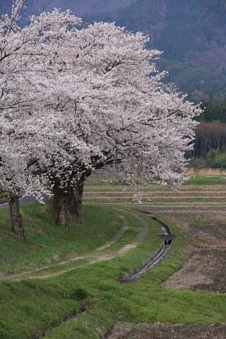 3710sakura.jpg
